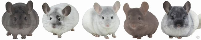 Chinchilla Group - Silver female, White Mosaic female, Sapphire & White Mosaic female, Tan female, TOV White female. © chinchillas.com