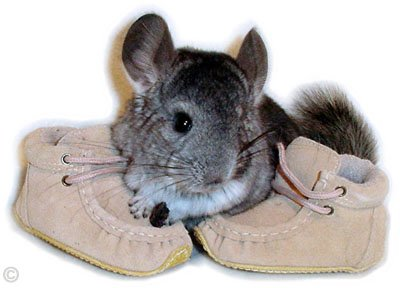 Chinchilla Kit/Baby A Standard Grey chinchilla kit. � Jo Ann McCraw.