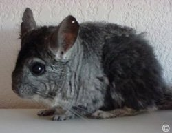 Sickness, Illness and Disease - This chinchilla was attacked by siblings and started to chew its own fur due to stress. © Audie Vaughn.