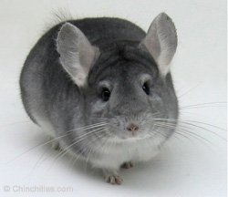 Chinchilla Genetics