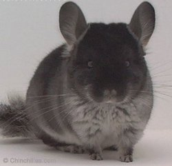 Black Velvet Chinchillas | www.pixshark.com - Images ...