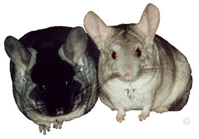 TOV Black Velvet Female Chinchilla and Heterozygous Beige Male Chinchilla