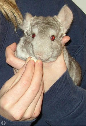 Taming a Chinchilla - A Heterozygous Beige chinchilla completely comfortable sitting it his owners hands and enjoying his birthday treat. © Jo Ann McGraw.
